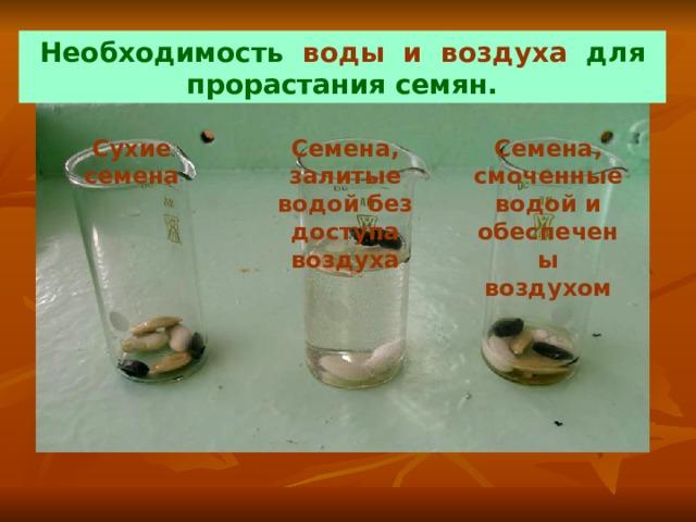 Необходимость воды и воздуха для прорастания семян. Сухие семена Семена, залитые  водой без доступа воздуха Семена, смоченные водой и обеспечены воздухом