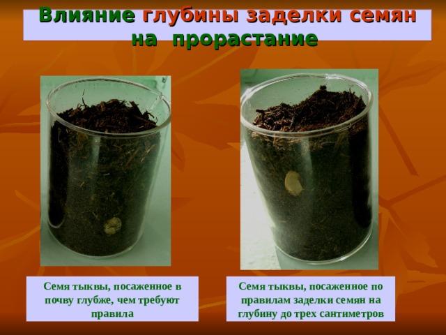 Влияние глубины заделки семян на прорастание  Семя тыквы, посаженное по правилам заделки семян на глубину до трех сантиметров Семя тыквы, посаженное в почву глубже, чем требуют правила