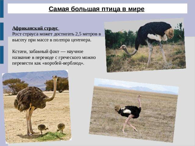 Самая большая птица в мире  Африканский страус  Рост страуса может достигать 2,5 метров в высоту при массе в полтора центнера. Кстати, забавный факт — научное название в переводе с греческого можно перевести как «воробей-верблюд».