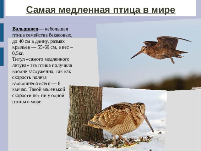 Самая медленная птица в мире Вальдшнеп — небольшая птица семействабекасовых, до 40 см в длину, размах крыльев — 55-60 см, а вес – 0,5кг. Титул «самого медленного летуна» эта птица получила вполне заслуженно, так как скорость полета вальдшнепавсего — 8 км/час.Такой маленькой скорости нет ни у одной птицы в мире.