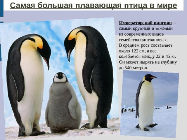 Самая большая плавающая птица в мире Императорский пингвин — самый крупный и тяжёлый из современных видов семейства пингвиновых. В среднем рост составляет около 122см, а вес колеблется между 22 и 45кг. Он может нырять на глубину до 540 метров.