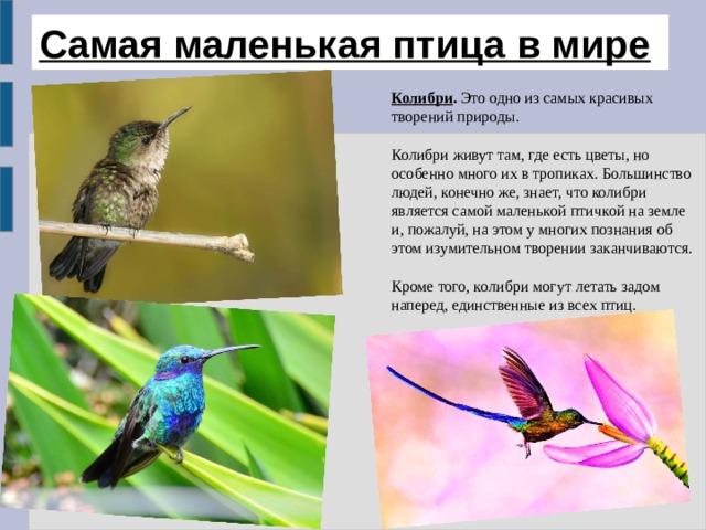 Самая маленькая птица в мире  Колибри . Это одно из самых красивых творений природы. Колибри живут там, где есть цветы, но особенно много их в тропиках. Большинство людей, конечно же, знает, что колибри является самой маленькой птичкой на земле и, пожалуй, на этом у многих познания об этом изумительном творении заканчиваются. Кроме того, колибри могут летать задом наперед, единственные из всех птиц.
