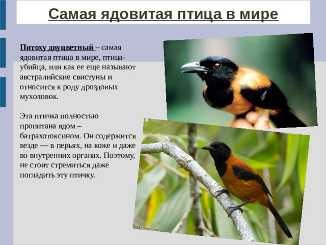 Самая ядовитая птица в мире Питоху двуцветный – самая ядовитая птица в мире, птица-убийца, или как ее еще называют австралийские свистуны и относится к роду дроздовых мухоловок. Эта птичка полностью пропитана ядом – батрахотоксином . Он содержится везде — в перьях, на коже и даже во внутренних органах. Поэтому, не стоит стремиться даже погладить эту птичку.
