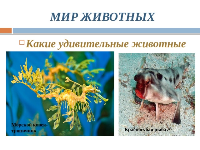 МИР ЖИВОТНЫХ Какие удивительные животные Морской конек-тряпичник Красногубая рыба