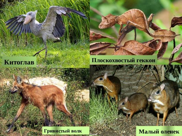 Плоскохвостый геккон Китоглав Малый оленек Гривистый волк