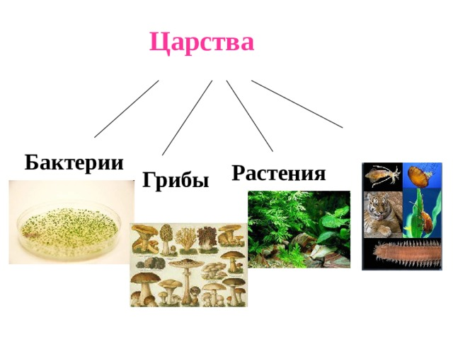 Царства   Бактерии Растения Грибы