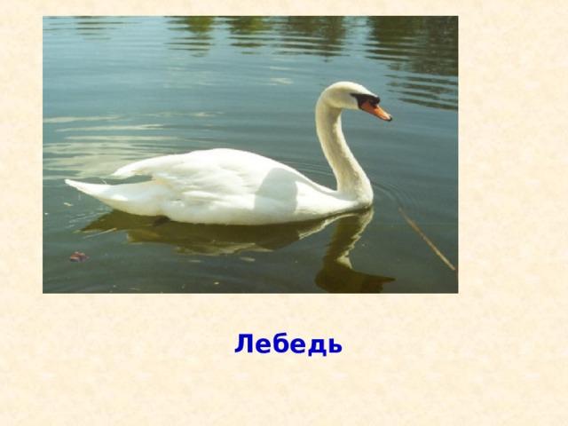 Эта большая птица служит символом красоты и любви, чистоты и нежности с о б б ж о у е л ? р л а ы Ь й в л м ь е д в е д ь