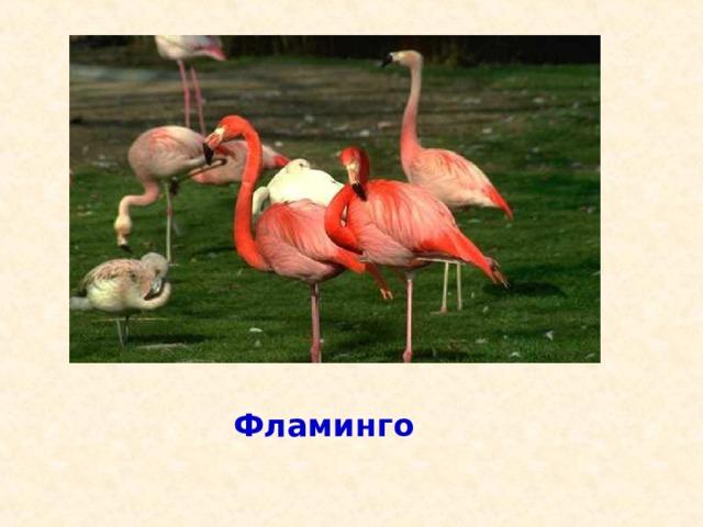 Детёныши этих птиц рождаются с длинными толстыми ногами, и прямым красным клювом и ходят два года в сером оперении, а затем одеваются в розовый наряд с о б ж б о е у ? л л л т р ы е ь а и й б г в е л р д м ь е ь д в е д ь