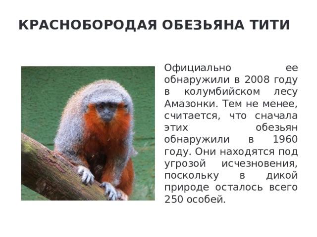 Краснобородая обезьяна тити   Официально ее обнаружили в 2008 году в колумбийском лесу Амазонки. Тем не менее, считается, что сначала этих обезьян обнаружили в 1960 году. Они находятся под угрозой исчезновения, поскольку в дикой природе осталось всего 250 особей.