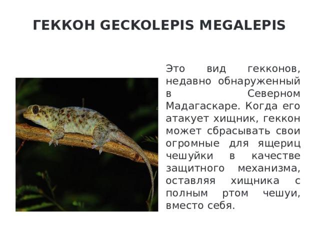 Геккон Geckolepis Megalepis   Это вид гекконов, недавно обнаруженный в Северном Мадагаскаре. Когда его атакует хищник, геккон может сбрасывать свои огромные для ящериц чешуйки в качестве защитного механизма, оставляя хищника с полным ртом чешуи, вместо себя.