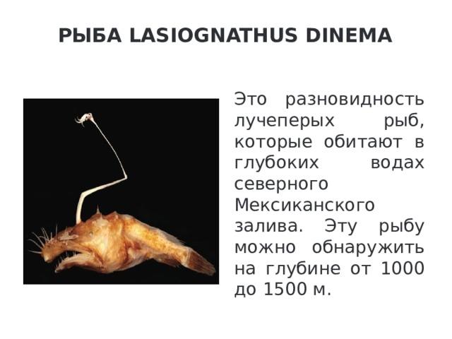 Рыба Lasiognathus Dinema   Это разновидность лучеперых рыб, которые обитают в глубоких водах северного Мексиканского залива. Эту рыбу можно обнаружить на глубине от 1000 до 1500 м.