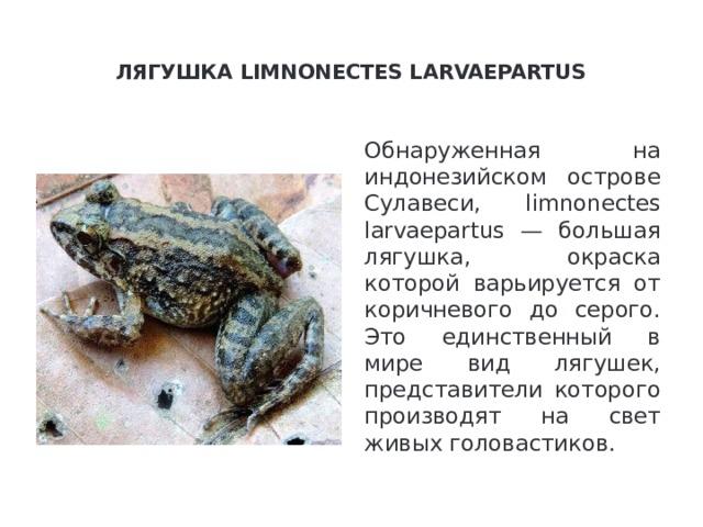 Лягушка limnonectes larvaepartus   Обнаруженная на индонезийском острове Сулавеси, limnonectes larvaepartus — большая лягушка, окраска которой варьируется от коричневого до серого. Это единственный в мире вид лягушек, представители которого производят на свет живых головастиков.