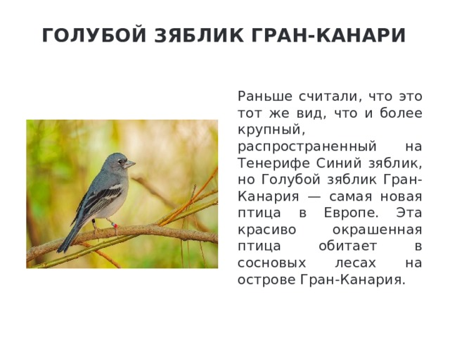 Голубой зяблик Гран-Канари   Раньше считали, что это тот же вид, что и более крупный, распространенный на Тенерифе Синий зяблик, но Голубой зяблик Гран-Канария — самая новая птица в Европе. Эта красиво окрашенная птица обитает в сосновых лесах на острове Гран-Канария.