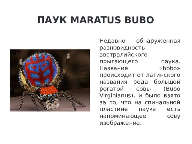 Паук Maratus Bubo Недавно обнаруженная разновидность австралийского прыгающего паука. Название «bobo» происходит от латинского названия рода большой рогатой совы (Bubo Virginianus), и было взято за то, что на спинальной пластине паука есть напоминающее сову изображение.