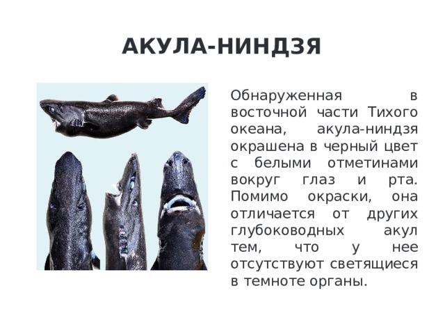 Акула-ниндзя Обнаруженная в восточной части Тихого океана, акула-ниндзя окрашена в черный цвет с белыми отметинами вокруг глаз и рта. Помимо окраски, она отличается от других глубоководных акул тем, что у нее отсутствуют светящиеся в темноте органы.