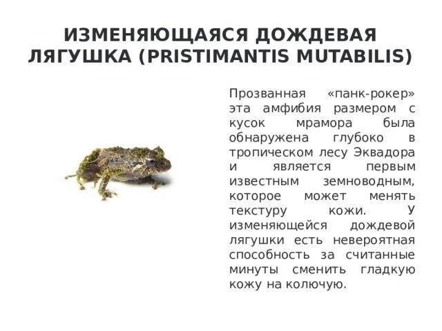 Изменяющаяся дождевая лягушка (Pristimantis mutabilis) Прозванная «панк-рокер» эта амфибия размером с кусок мрамора была обнаружена глубоко в тропическом лесу Эквадора и является первым известным земноводным, которое может менять текстуру кожи. У изменяющейся дождевой лягушки есть невероятная способность за считанные минуты сменить гладкую кожу на колючую.