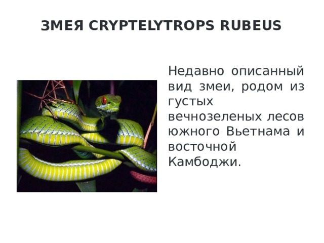 Змея Cryptelytrops Rubeus   Недавно описанный вид змеи, родом из густых вечнозеленых лесов южного Вьетнама и восточной Камбоджи.