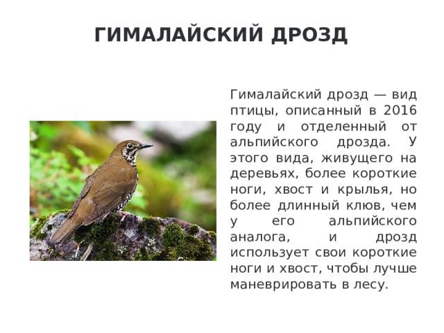 Гималайский дрозд   Гималайский дрозд — вид птицы, описанный в 2016 году и отделенный от альпийского дрозда. У этого вида, живущего на деревьях, более короткие ноги, хвост и крылья, но более длинный клюв, чем у его альпийского аналога, и дрозд использует свои короткие ноги и хвост, чтобы лучше маневрировать в лесу.