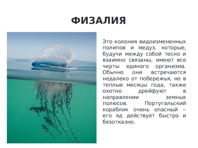 Физалия Это колония видоизмененных полипов и медуз, которые, будучи между собой тесно и взаимно связаны, имеют все черты единого организма. Обычно они встречаются недалеко от побережья, но в теплые месяцы года, также охотно дрейфуют в направлении земных полюсов. Португальский кораблик очень опасный ‒ его яд действует быстро и безотказно.