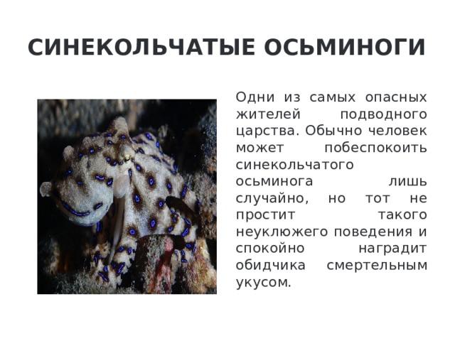 Синекольчатые осьминоги Одни из самых опасных жителей подводного царства. Обычно человек может побеспокоить синекольчатого осьминога лишь случайно, но тот не простит такого неуклюжего поведения и спокойно наградит обидчика смертельным укусом.