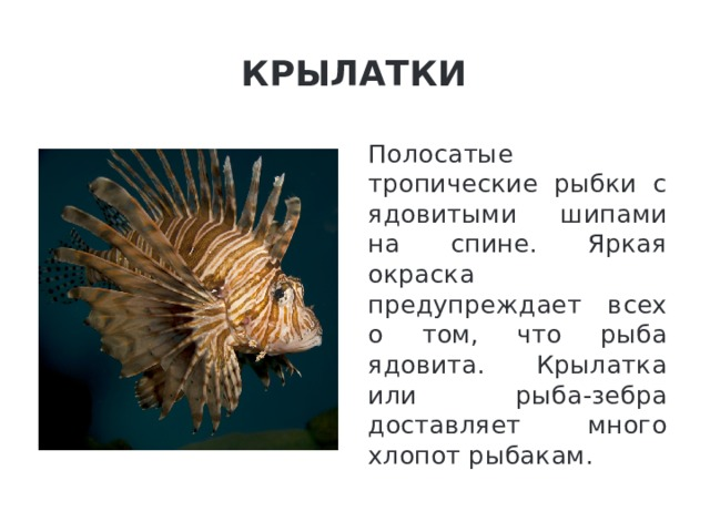 Крылатки Полосатые тропические рыбки с ядовитыми шипами на спине. Яркая окраска предупреждает всех о том, что рыба ядовита. Крылатка или рыба-зебра доставляет много хлопот рыбакам.