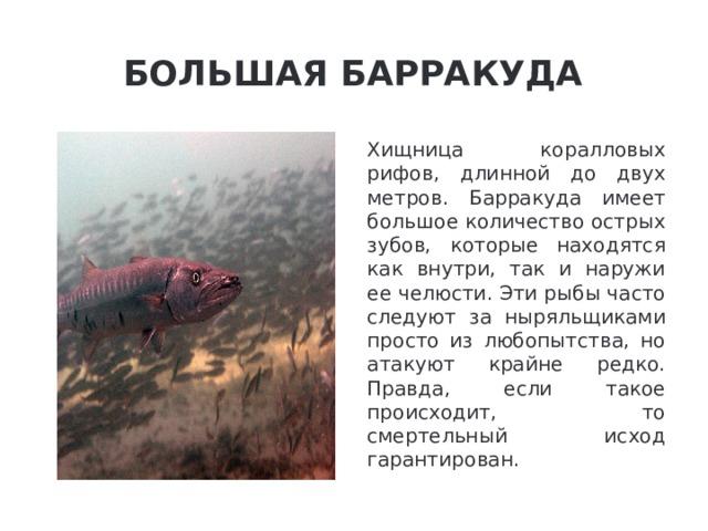 Большая барракуда Хищница коралловых рифов, длинной до двух метров. Барракуда имеет большое количество острых зубов, которые находятся как внутри, так и наружи ее челюсти. Эти рыбы часто следуют за ныряльщиками просто из любопытства, но атакуют крайне редко. Правда, если такое происходит, то смертельный исход гарантирован.