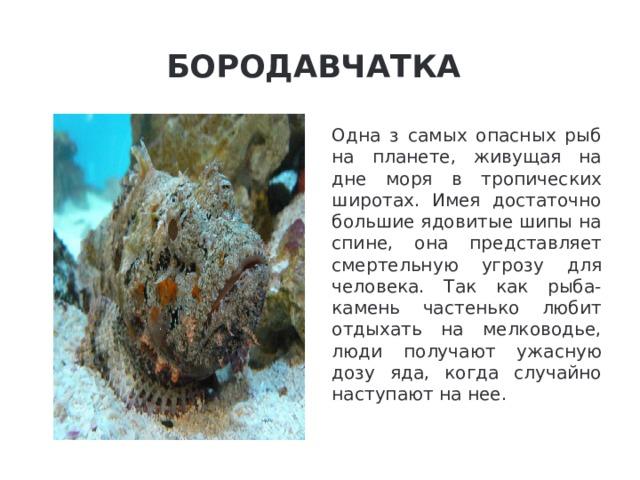 Бородавчатка Одна з самых опасных рыб на планете, живущая на дне моря в тропических широтах. Имея достаточно большие ядовитые шипы на спине, она представляет смертельную угрозу для человека. Так как рыба-камень частенько любит отдыхать на мелководье, люди получают ужасную дозу яда, когда случайно наступают на нее.