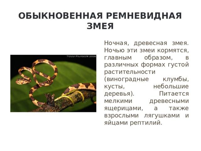 Обыкновенная ремневидная змея Ночная, древесная змея. Ночью эти змеи кормятся, главным образом, в различных формах густой растительности (виноградные клумбы, кусты, небольшие деревья). Питается мелкими древесными ящерицами, а также взрослыми лягушками и яйцами рептилий.