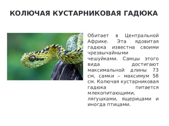 Колючая кустарниковая гадюка   Обитает в Центральной Африке. Эта ядовитая гадюка известна своими чрезвычайными чешуйками. Самцы этого вида достигают максимальной длины 73 см, самки ‒ максимум 58 см. Колючая кустарниковая гадюка питается млекопитающими, лягушками, ящерицами и иногда птицами.