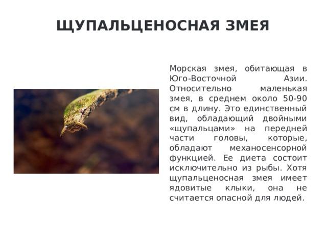 Щупальценосная змея   Морская змея, обитающая в Юго-Восточной Азии. Относительно маленькая змея, в среднем около 50-90 см в длину. Это единственный вид, обладающий двойными «щупальцами» на передней части головы, которые, обладают механосенсорной функцией. Ее диета состоит исключительно из рыбы. Хотя щупальценосная змея имеет ядовитые клыки, она не считается опасной для людей.