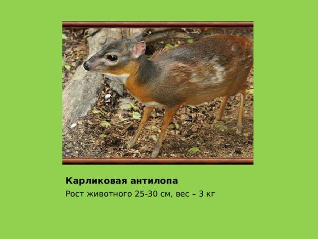 Карликовая антилопа Рост животного 25-30 см, вес – 3 кг