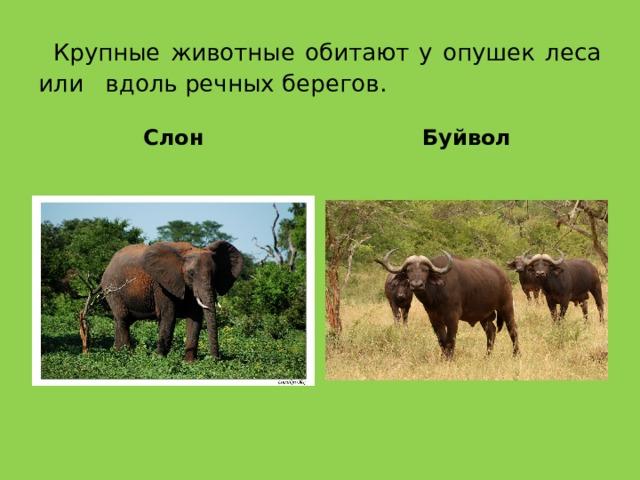 Крупные животные обитают у опушек леса или вдоль речных берегов. Слон Буйвол