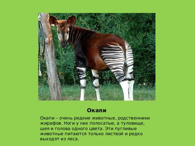 Окапи Окапи – очень редкие животные, родственники жирафов. Ноги у них полосатые, а туловище, шея и голова одного цвета. Эти пугливые животные питаются только листвой и редко выходят из леса.