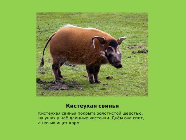Кистеухая свинья Кистеухая свинья покрыта золотистой шерстью, на ушах у неё длинные кисточки. Днём она спит, а ночью ищет корм.
