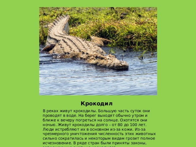 Крокодил В реках живут крокодилы. Большую часть суток они проводят в воде. На берег выходят обычно утром и ближе к вечеру погреться на солнце. Охотятся они ночью. Живут крокодилы долго – от 80 до 100 лет. Люди истребляют их в основном из-за кожи. Из-за чрезмерного уничтожения численность этих животных сильно сократилась и некоторым видам грозит полное исчезновение. В ряде стран были приняты законы, запрещающие охоту на крокодилов.