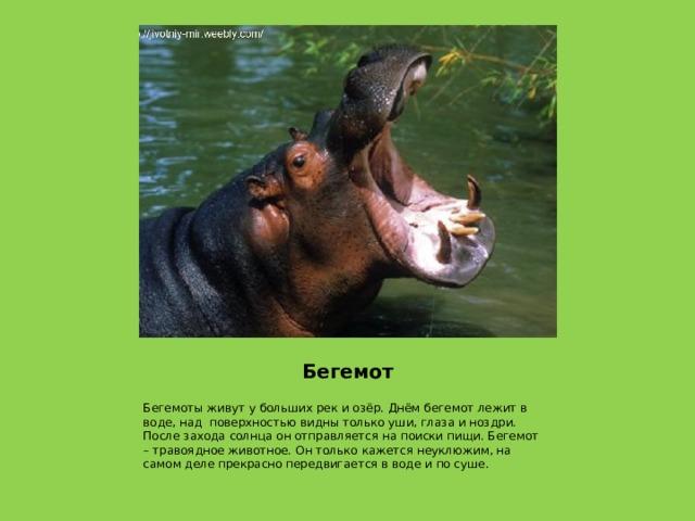 Бегемот Бегемоты живут у больших рек и озёр. Днём бегемот лежит в воде, над поверхностью видны только уши, глаза и ноздри. После захода солнца он отправляется на поиски пищи. Бегемот – травоядное животное. Он только кажется неуклюжим, на самом деле прекрасно передвигается в воде и по суше.