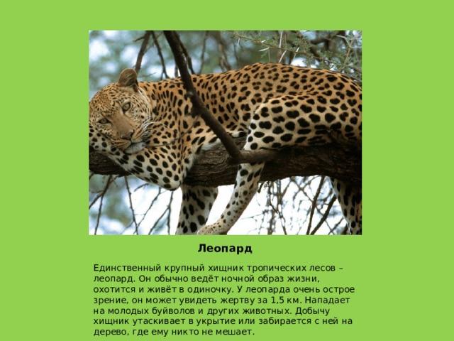 Леопард Единственный крупный хищник тропических лесов – леопард. Он обычно ведёт ночной образ жизни, охотится и живёт в одиночку. У леопарда очень острое зрение, он может увидеть жертву за 1,5 км. Нападает на молодых буйволов и других животных. Добычу хищник утаскивает в укрытие или забирается с ней на дерево, где ему никто не мешает.
