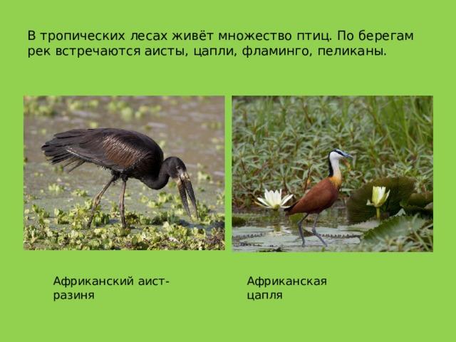 В тропических лесах живёт множество птиц. По берегам рек встречаются аисты, цапли, фламинго, пеликаны. Африканский аист-разиня Африканская цапля