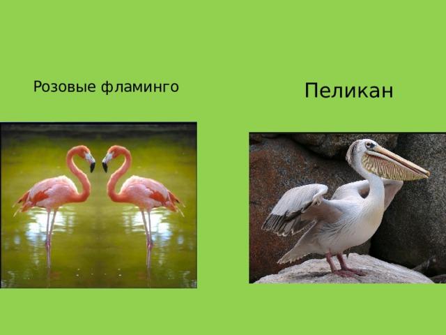 Розовые фламинго  Пеликан