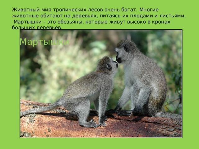Животный мир тропических лесов очень богат. Многие животные обитают на деревьях, питаясь их плодами и листьями.  Мартышки – это обезьяны, которые живут высоко в кронах больших деревьев.