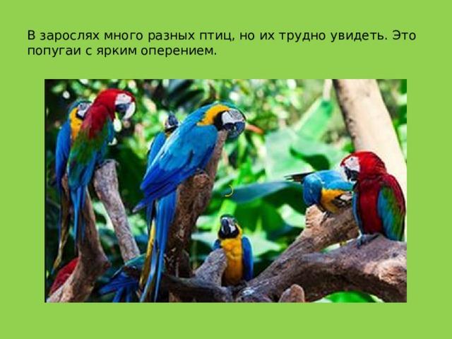 В зарослях много разных птиц, но их трудно увидеть. Это попугаи с ярким оперением.