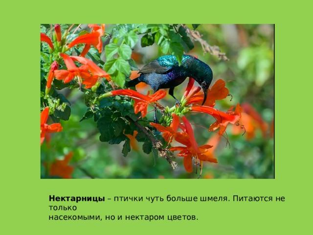 Нектарницы – птички чуть больше шмеля. Питаются не только насекомыми, но и нектаром цветов.