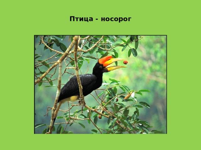 Птица - носорог