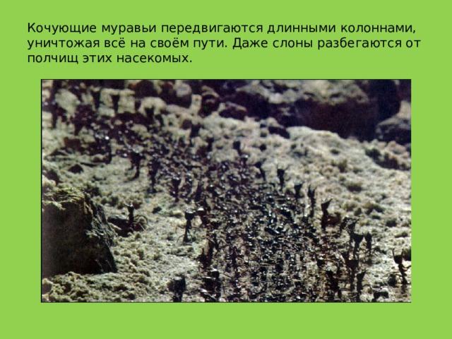 Кочующие муравьи передвигаются длинными колоннами, уничтожая всё на своём пути. Даже слоны разбегаются от полчищ этих насекомых.