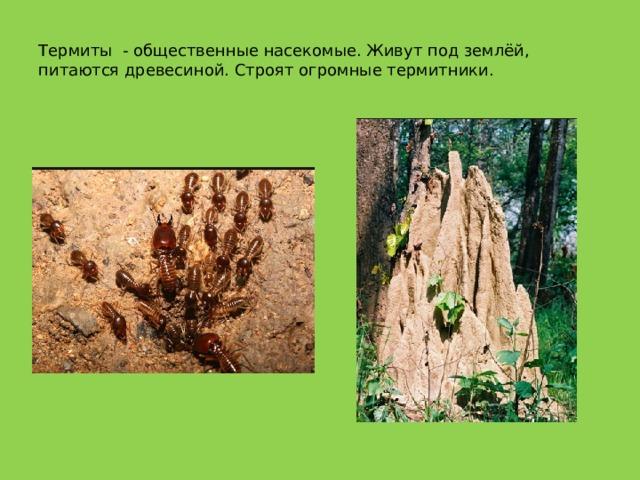 Термиты - общественные насекомые. Живут под землёй, питаются древесиной. Строят огромные термитники.