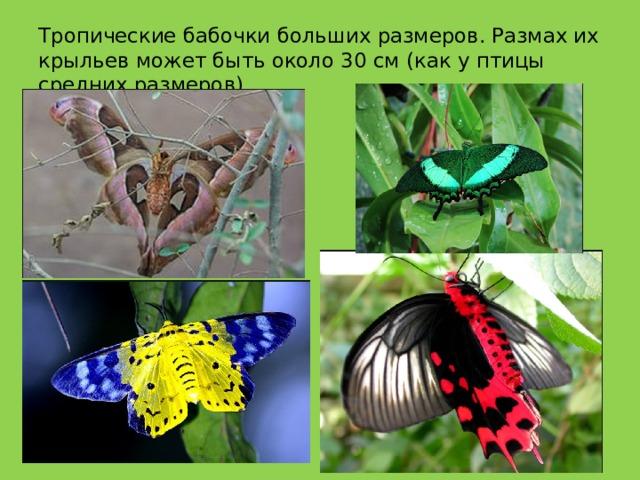 Тропические бабочки больших размеров. Размах их крыльев может быть около 30 см (как у птицы средних размеров).