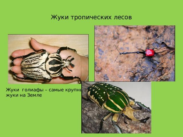 Жуки тропических лесов Жуки голиафы – самые крупные жуки на Земле