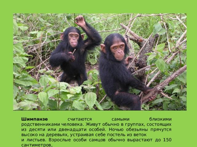 Шимпанзе считаются самыми близкими родственникамичеловека. Живут обычно в группах, состоящих из десяти или двенадцати особей. Ночью обезьяны прячутся высоко на деревьях, устраивая себе постель из веток и листьев. Взрослые особи самцов обычно вырастают до 150 сантиметров,  а самки— до 130 сантиметров.