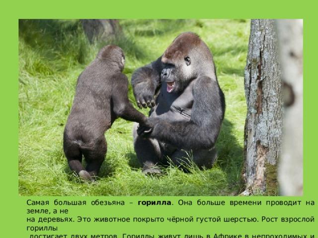 Самая большая обезьяна – горилла . Она больше времени проводит на земле, а не на деревьях. Это животное покрыто чёрной густой шерстью. Рост взрослой гориллы  достигает двух метров. Гориллы живут лишь в Африке в непроходимых и труднодоступных  для человека местах.