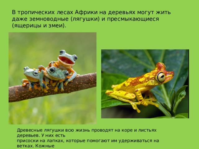 В тропических лесах Африки на деревьях могут жить даже земноводные (лягушки) и пресмыкающиеся (ящерицы и змеи). Древесные лягушки всю жизнь проводят на коре и листьях деревьев. У них есть присоски на лапках, которые помогают им удерживаться на ветках. Кожные выделения некоторых из них могут быть ядовиты.